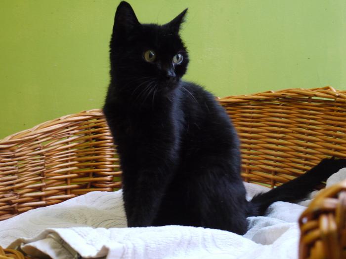 Fundkatze Lakritz sucht ein neues Zuhause. (Foto: Tierheim Hage)