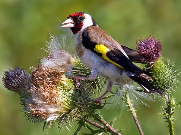 Mit etwas Glück können die Fernglas und Notizblock ausgestatteten Vogelbeobachter am Wochenende auch den bunten Stieglitz entdecken. In 2013 wurde er im Landkreis Aurich in 6% der Gärten gesichtet. (Foto: NABU-Fotoclub)