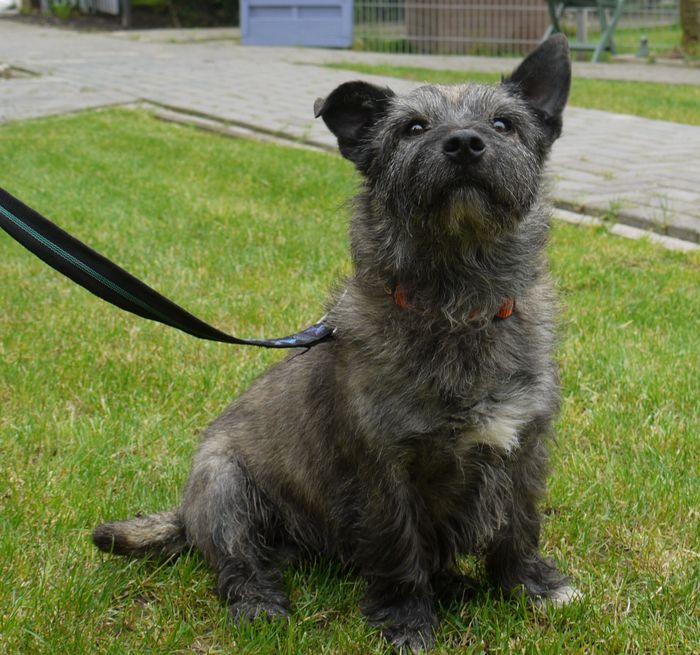 Der Cairn-Terrier Max sucht ein neues Zuhause. (Foto: Tierheim Hage)