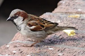 """Der Haussperling wurde bei der Stunde der Wintervögel 2015 am häufigsten gezählt. (Foto: """"House sparrowII"""". Lizenziert unter CC BY-SA 3.0 über Wikimedia Commons)"""