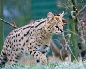 """Der Serval (Leptailurus serval) ist eine mittelgroße wilde Katze Afrikas. (Foto: """"Malawi in the Frost"""" von Nick Jewell - Malawi in the Frost. Lizenziert unter CC BY 2.0 über Wikimedia Commons)"""