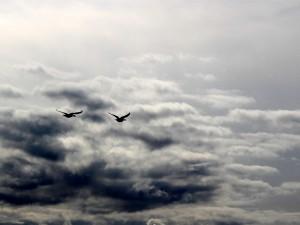 Zwei Nilgänse unter ostfriesischem Himmel. (Foto: gf / cc-by-sa)