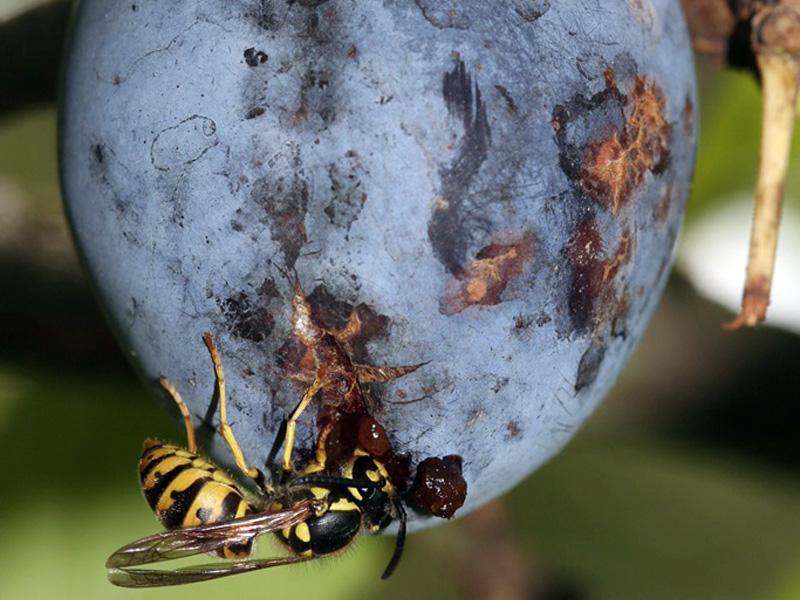 Eine Wespe nascht an einer Zwetschge. (Foto: NABU/Helge May)
